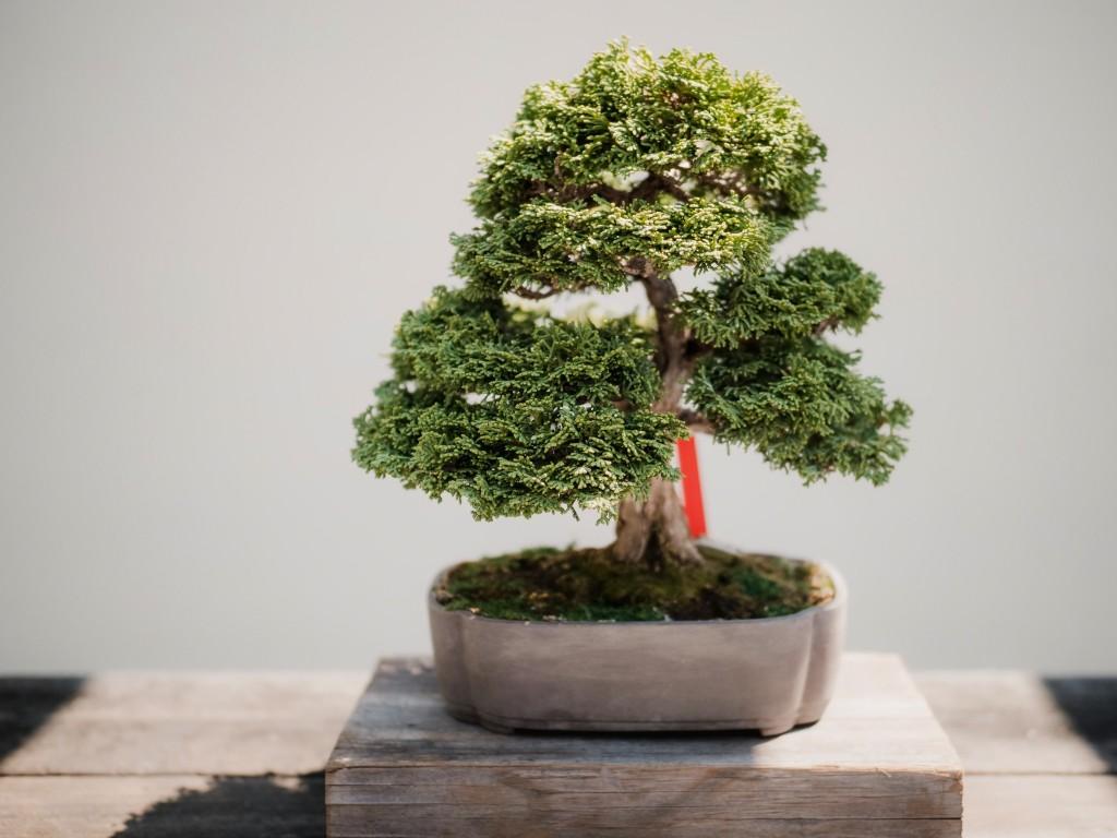 London Plane Tree Bonsai Bonsai Tree