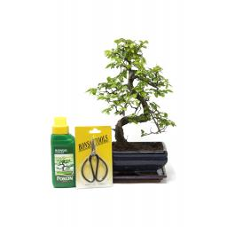 Indoor Bonsai Tree Gift Set - Medium Sized Chinese Elm - 18cm Pot