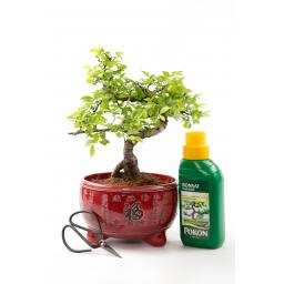 Chinese Elm Kit Red Pot