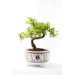 Chinese Elm White Pot