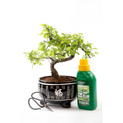 Chinese Elm Kit Black Pot