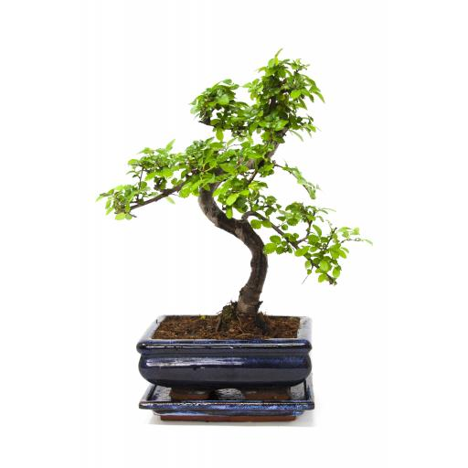Chinese Elm, 25-30cmTall With Matching CERAMIC TRAY