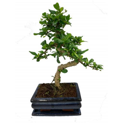 Carmona ( Fukien Tree) Indoor Bonsai Tree - 15cm Pot