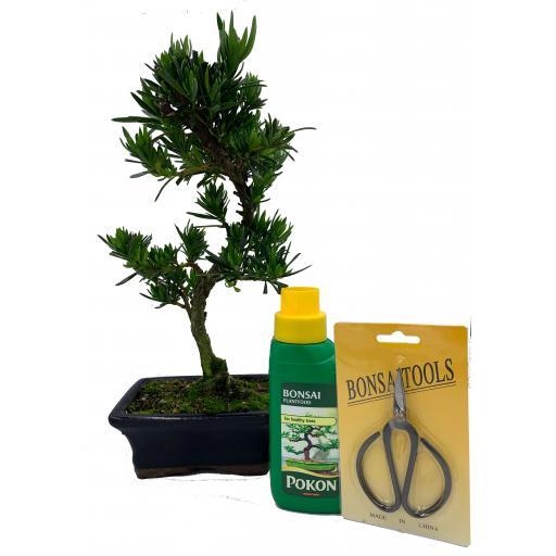 Bonsai Tree Podocarpus Gift Set - 15cm Pot