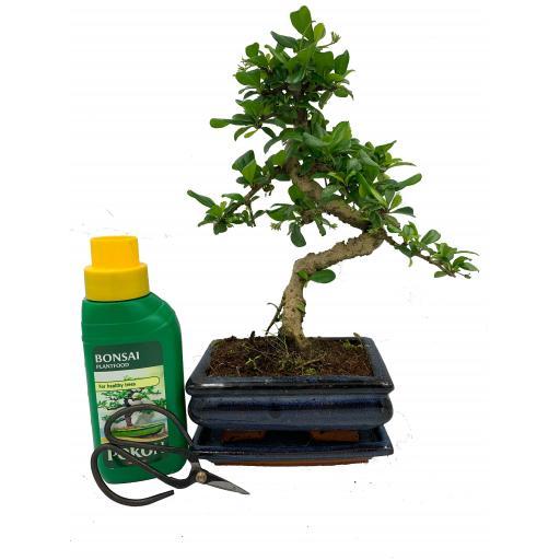 Carmona ( Fukien Tree) Indoor Bonsai Tree Gift Set - 15cm Pot